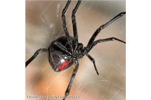 Stay clear of the hazards, including the Black Widow spiders!